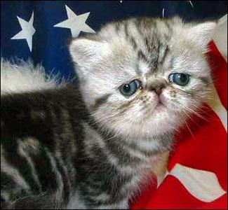 Exotic cat isänmaallisena